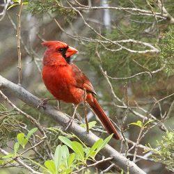 Cardinal Bird Panel from Sharon Dinsmore